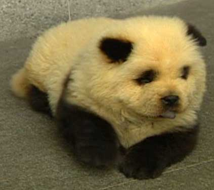 Panda doggy. CUUUUUUUUUUUUUUUTE and a little creepy.